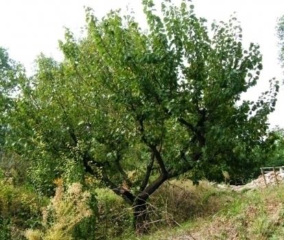 Alberi da fiore il melo frutteto alberi da fiore il melo for Albero di kiwi