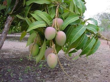 Capsule di Mango Africano