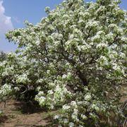 Caratteristiche della pianta di peperoncino