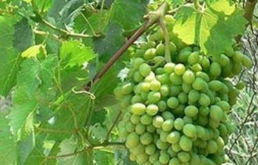 Ciclo biologico della vite uva