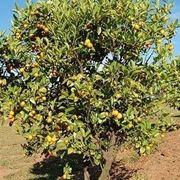 Domanda : il limone in inverno