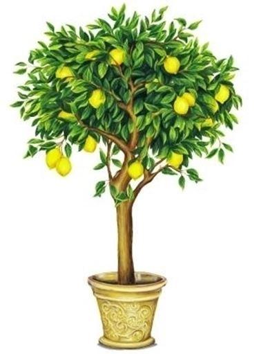 Domanda: Innesto del limone
