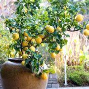 Domanda: limone da seme