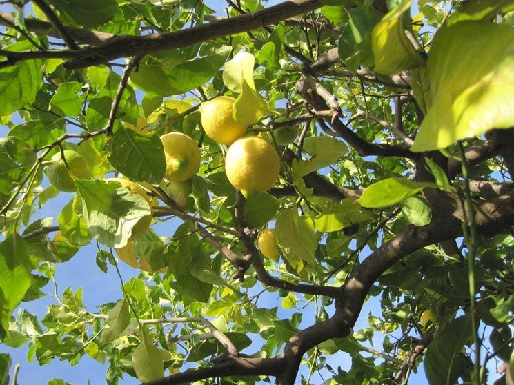 Domanda : limone in aiuola