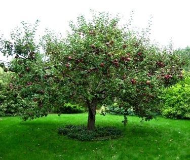 Domanda : melo malattia frutto