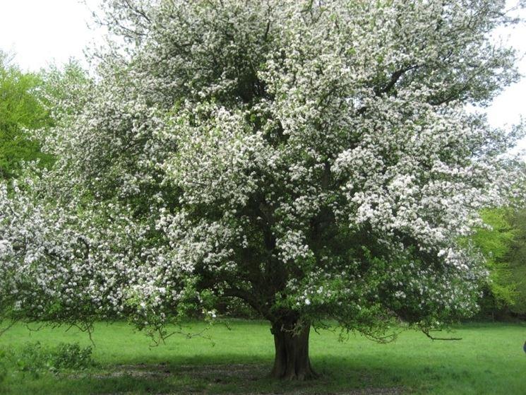 Domanda : Melograno perde i fiori e non fa frutti