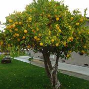 Domanda: Phytophthora del Limone?