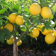 Domanda : quando, quali e come effettuare i trattamenti antiparassittari al limone?
