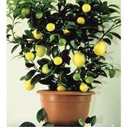 Domanda : spiantare un limone