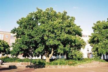 Domanda : trapiantare un albero di noce