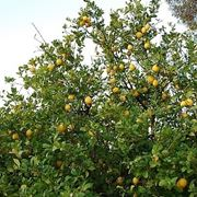 Risposta : Caduta delle foglie nel limone