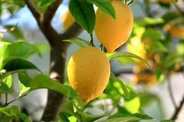 Risposta: la potatura del limone