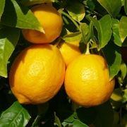 Risposta : limone sul terrazzo
