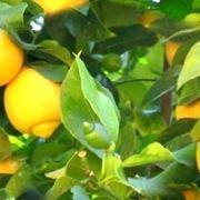 Risposta : perche' la pianta di limone perde foglie