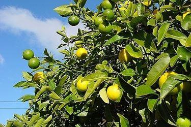 Risposta: quanto annaffiare il limone