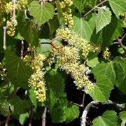 Sintomi attacco peronospora sulle foglie della vite