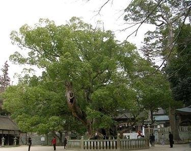 Caratteristiche dell'albero della canfora