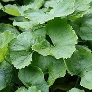 Le tisane di erbe anticellulite