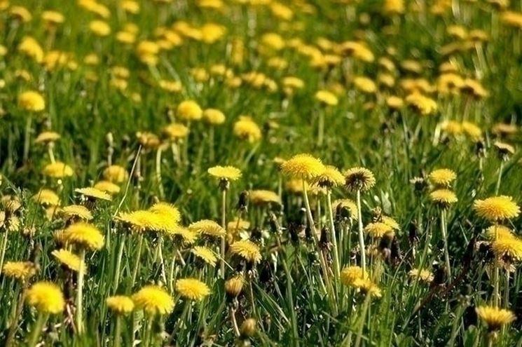 Come far fiorire il tarassaco