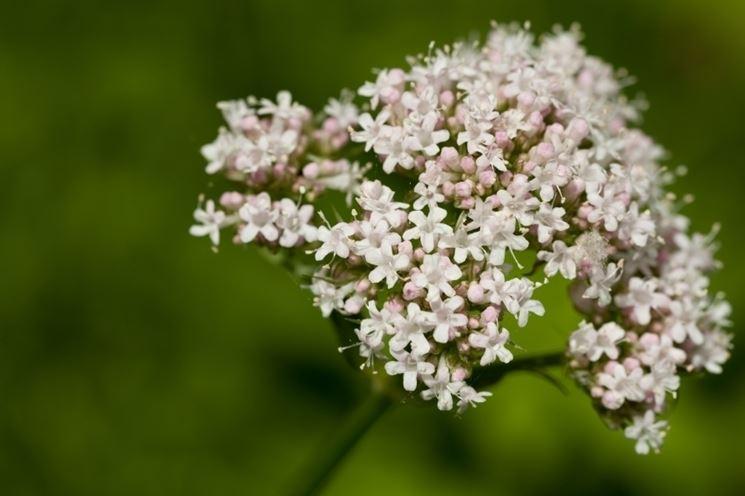 Valeriana 8 piante da erboristeria valeriana 8