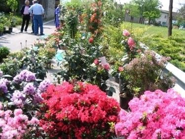 Il fiore di borragine e le sue proprietà