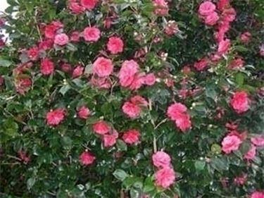 Uso alimentare dei bulbi da fiore