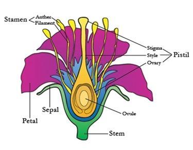 Il Corniolo da fiore