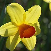 amarillis arancio-1