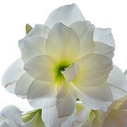 amarillis bianche-1