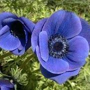 anemoni colorate