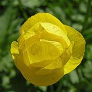 anemoni gialli