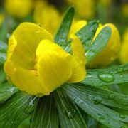 anemoni gialle