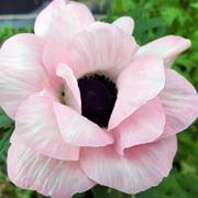 anemoni rosa-1