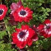 anemoni rosse