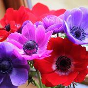 anemoni rossi