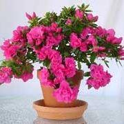 azalea rosa-1