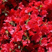 azalea rossa-1