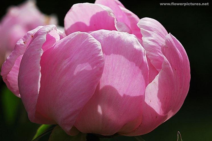 bouquet per fiocco rosa-3
