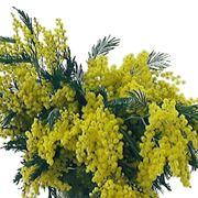 centrotavola di mimosa-4
