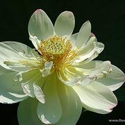 centrotavola di mimosa-5