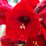 significato fiori amarillis rosse