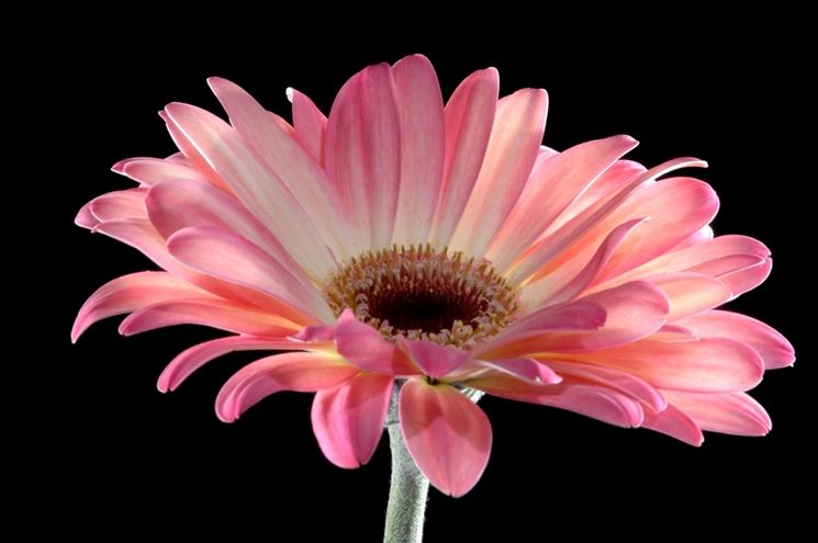 Significato fiori gerbere rosa 1 fiore significato for Fiori gerbere