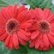 Significato fiori gerbere rosse