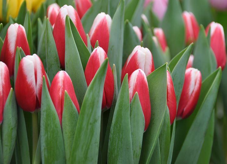 Fiori Tulipani.Significato Fiori Tulipani Rosa 1 Fiore Significato Fiori