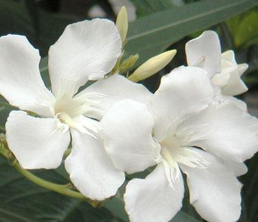 fiori diploma-8