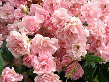 mazzo di rose-19