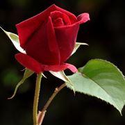 boccioli di rose