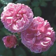 colore rose