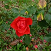 coltivazione roselline