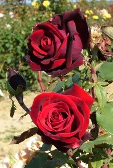 foto mazzi di rose